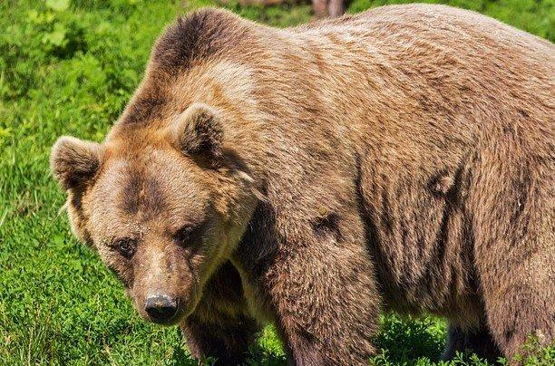 Spiksplinternieuw Geluid van een brullende beer - Dierengeluiden WZ-04